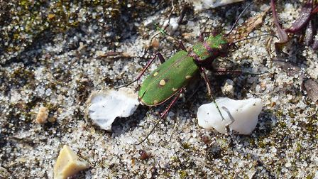 Green tiger beetle picture: Terry Palmer