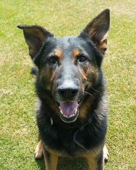 Police dog Rio has retired from the Norfolk and Suffolk Police Dog Unit. Picture: NORFOLK AND SUFFOL
