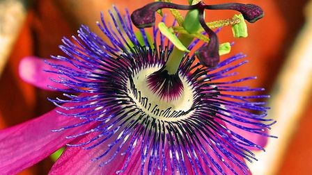 Passion flower. Picture: RON SMITH