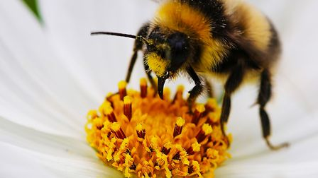 Detail of bee working collecting pollen Picture: MICK WEBB