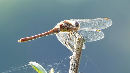 Dragonfly in detail Picture PAMELA BIDWELL