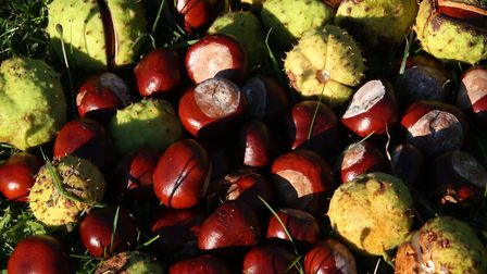 Conkers in detail Picture: DAVID LAMMING