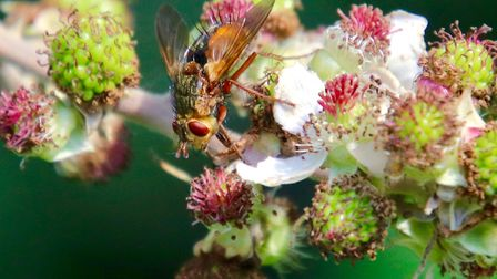 Hoverfly on a bramble bush in the garden Picture: JULIE KEMP
