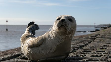 The baby seal was spotted near Felixstowe Ferry Picture: BEN ADAMS