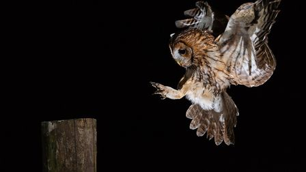 Tawny coming to land Pic: Laurence Liddy