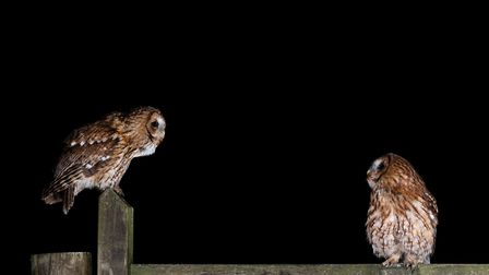 A tawny owl couple Pic: Laurence Liddy
