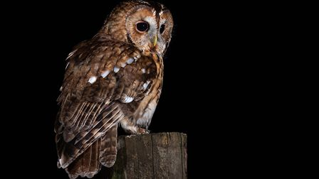 A tawny owl perched Pic: Laurence Liddy