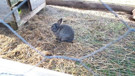 A rabbit found on a smallholding operated by Matthew Lowe near Sudbury Picture: SUFFOLK TRADING STA