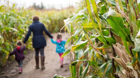 Get lost in the Maize Maze Picture: UNDLEY PUMPKIN PATCH AND MAIZE MAZE