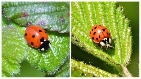 A normal ladybird (left) and a harlequin ladybird (right). Pictures: Liz Murton