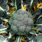 Broccoli leaves and stem can be eaten as well as the florets. Picture: Getty Images
