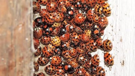 A previous swarm of hibernating Harlequin Ladybirds. The creatures have returned to Kelsale Church t