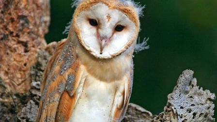 Fledgling barn owls are counted by the group to investigate how thier population is doing. Pictures: