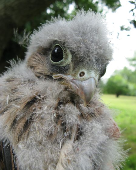 The Suffolk Owl Sanctuary alos counts outher birds of prey such as this baby Kestrel. Picture: SUFFO