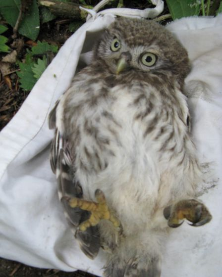 Little Owls are also counted by the group. Picture: SUFFOLK OWL SANCTUARY