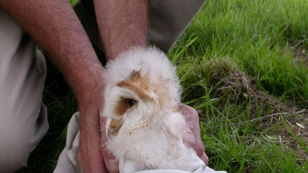 Young Barn Owls are ringed for identification. Picture: SUFFOLK OWL SANCTUARY