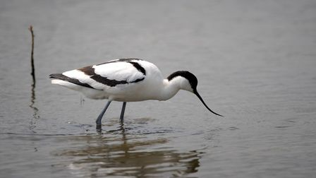 An avocet at the RSPB reserve at Minsmere. Picture: SIMON PARKER
