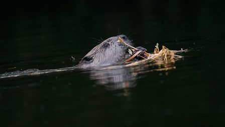 Two beavers will be introduced to Spains Hall Estate near Finchingfield village Picture: RUSSELL SAV