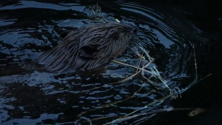 It is hoped that the Beavers natural activities will help with natural flood protection in the area