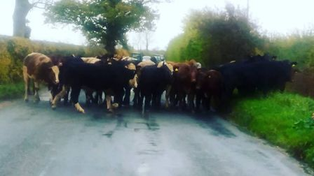 No less than 85 cows escaped from the field in Suffolk Picture: DARREN POLLEY