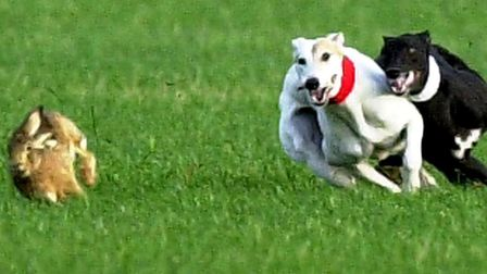 Hare coursing was banned under the Hunting Act 2004 Picture: MICHAEL HALL