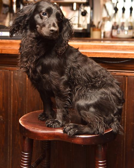 Truffle visits the bar at The Dog pub in Grundisburgh. Picture: SONYA DUNCAN