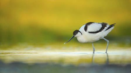 Avocets are a particularly rare bird that are also found on Havergate Island. Picture: BEN ANDREW
