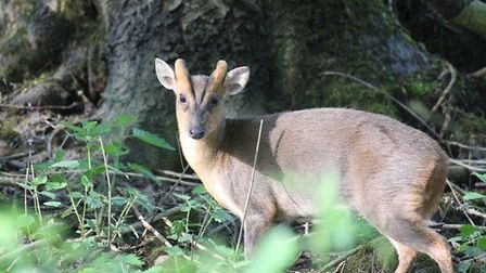 A muntjac deer Picture: MANDY EMERY