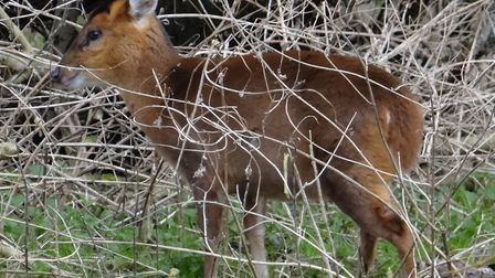 A deer cull has taken place at Ickworth, near Bury St Edmunds Picture: PAMELA BIDWELL