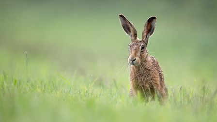 Winner in the Strictly Come Wildlife category: Young Brown Hare by Kevin Pigney