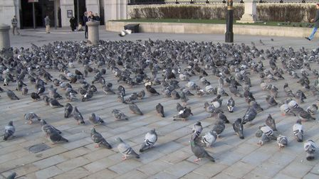 ABP have suspended their pigeon cull Picture: PROHIBITONIONS