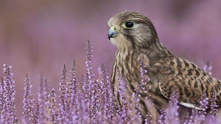 A bird of prey at the Suffolk Coast and Heaths AONB, which is proposed as a possible substation site