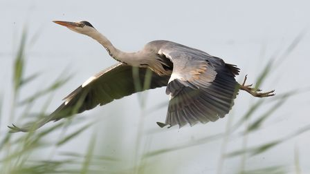 A heron in flight at the AONB Picture: CONTRIBUTED
