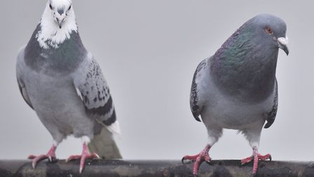Feral pigeons need to be culled - they are flying rats which bully other bird species Picture: ARCH