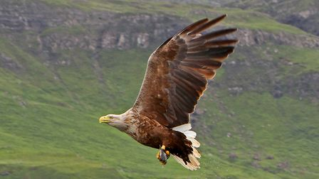 A Sea Eagle in Mull - they would be a magnificent site on the North Sea coast. Picture: MARGARET HOL