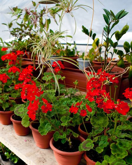 Geraniums under cover. Picture: Thinkstock/PA