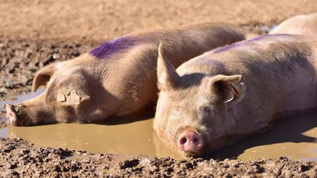 Pig farm incomes slumped last year, statistics show Picture: SARAH LUCY BROWN