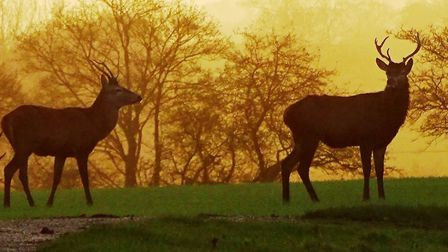 Red Deer stags at sunrise Picture: PAMELA BIDWELL