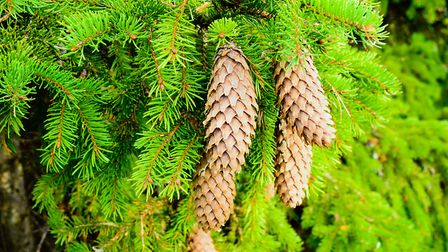 Norway spruce. Picture : Thinkstock/PA.