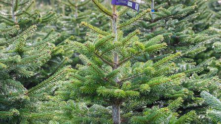 Christmas trees - a Nordmann. Picture: Wyevale Garden Centres/PA