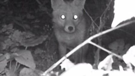 A fox captured on a trail camera that appears in the Suffolk Wildlife Trust's Christmas video.