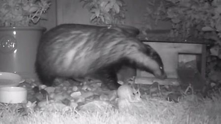 A badger captured on a trail camera that appears in the Suffolk Wildlife Trust's Christmas video.
