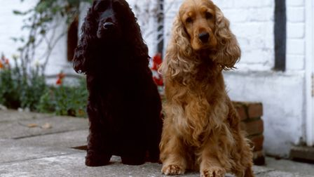 Maybe the Cocker Spaniels are your favourite Picture: DIANE PEARCE/THE KENNEL CLUB