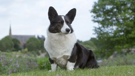 Does the Corgi win your heart? Picture: RUTH DALRYMPLE/THE KENNEL CLUB