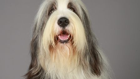 Is the Bearded Collie your favourite? Picture: THE KENNEL CLUB/NICK RIDLEY