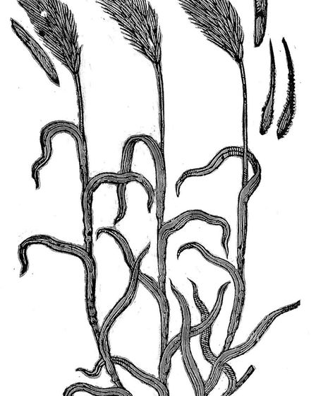 First illustration of rye infected by ergot. Picture: Wellcome Collection
