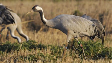 The UKs tallest bird is on the return after being driven to extinction in the UK 400 years ago. Pho