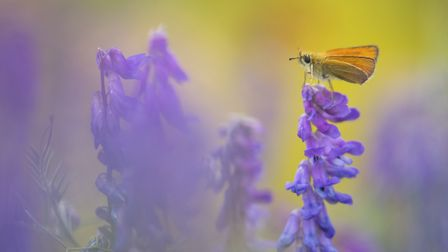 Small skipper butterfly - by Kevin Sawford