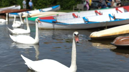 Swans at Thorpeness Mere. Picture: SARAH LUCY BROWN