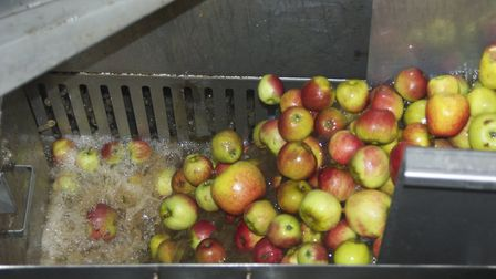 Apples heading into Aspall's apple press plant Picture: MARTIN CHAMBERS
